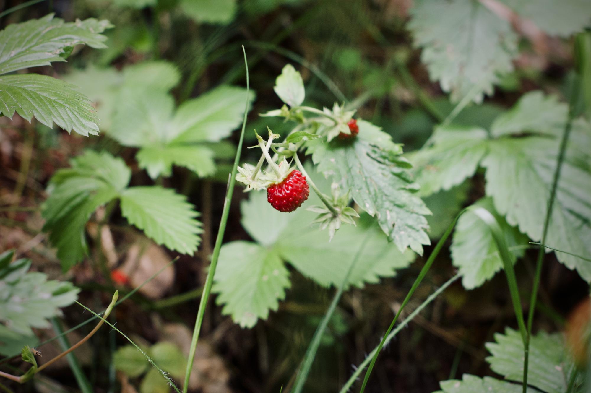 Wilde Erdbeeren am Wegesrand